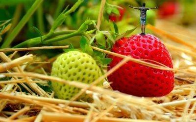 Гарантна линија за почетне пословне активности у сектору узгоја и прераде јагодичастог воћа